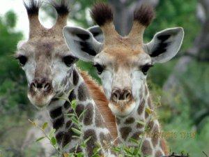 Marla Ahlgrimm - Marla-Ahlgrimm-baby giraffes